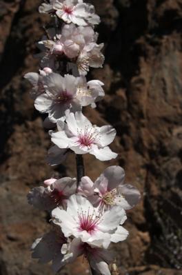 Mandelblüten auf Gran Canaria