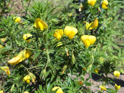 Schmalblättrige Hauhechel, Ononis angustissima